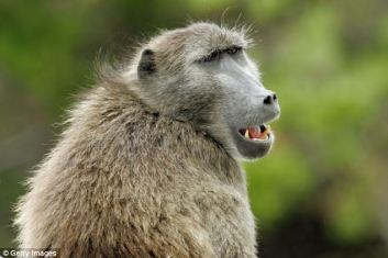 Wolves are better hunters when monkeys are around