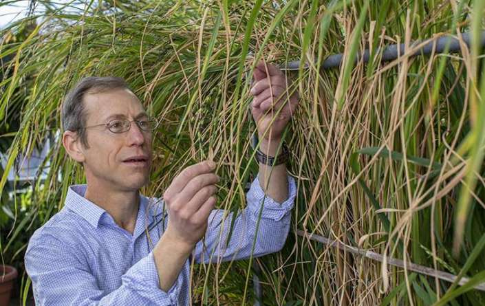 Grain traits traced to 'dark matter' of rice genome